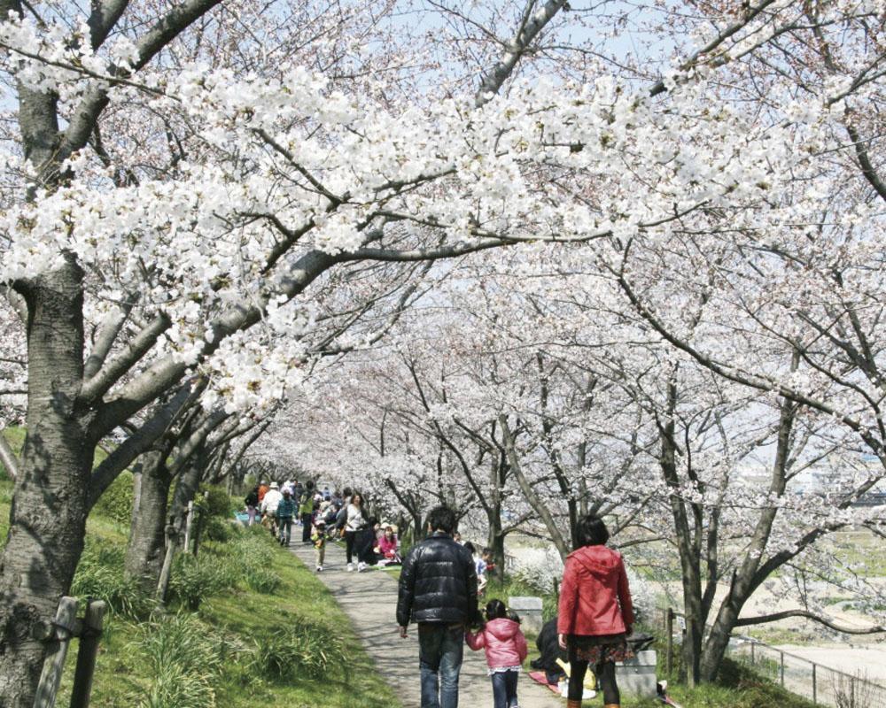 木津川の流れ橋、桜づつみ、浜茶をめぐるウォーク