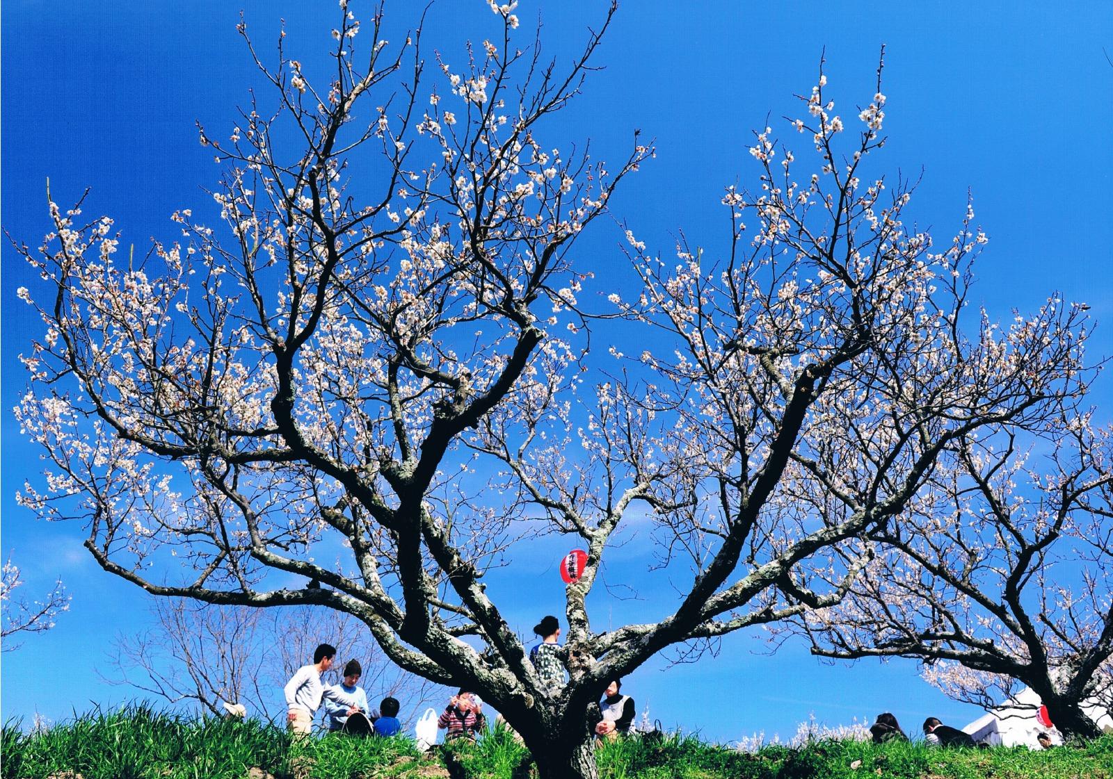 京都一の梅の産地でお花見を