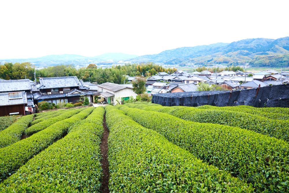 上から茶畑の畝を見下ろす