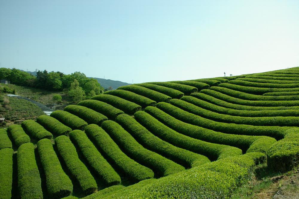 宇治田原の茶園