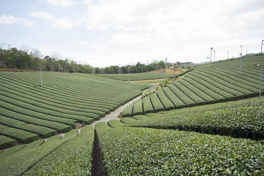 田山 ツルギの茶畑