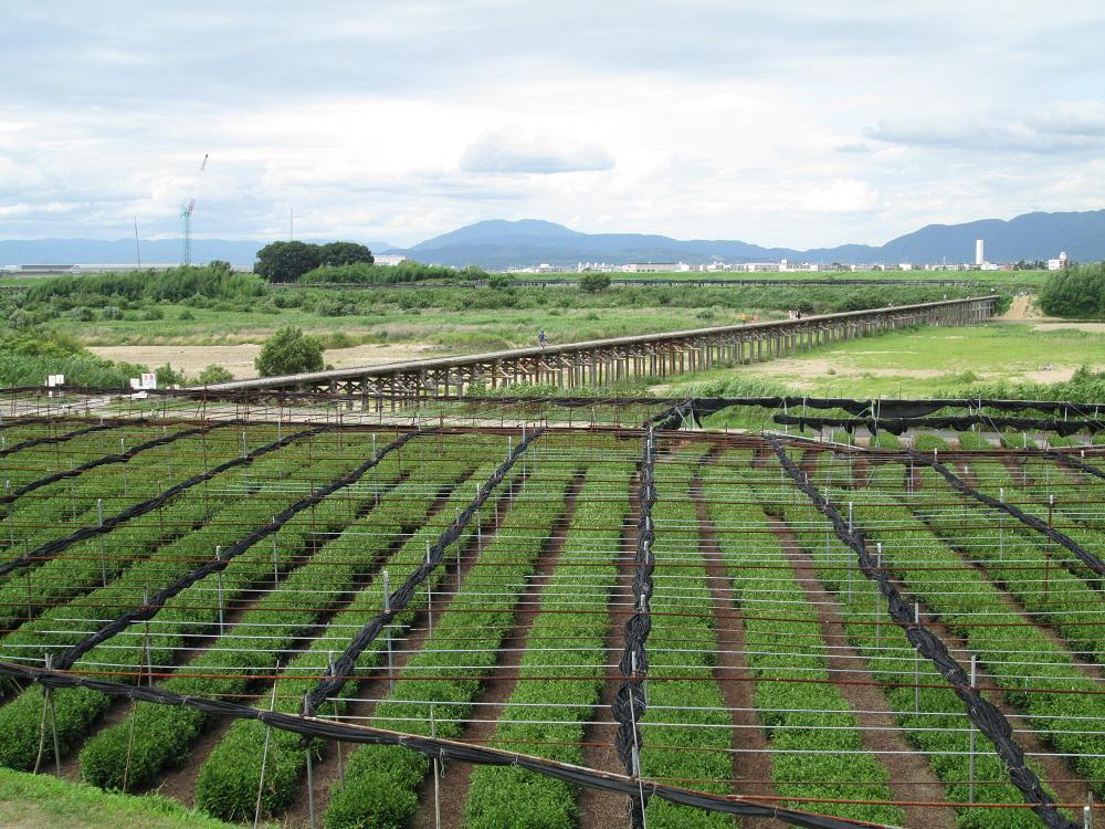 流れ橋と両岸上津屋・浜台の「浜茶」