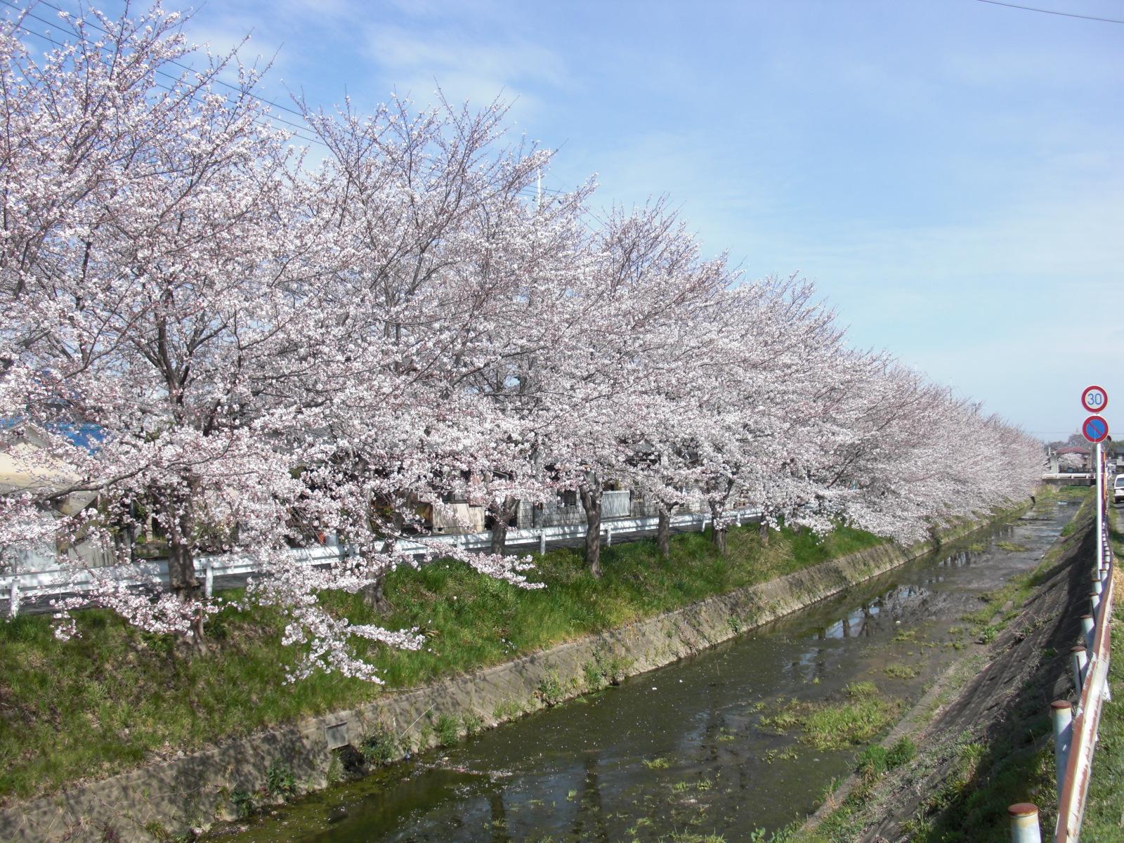 馬坂川桜並木