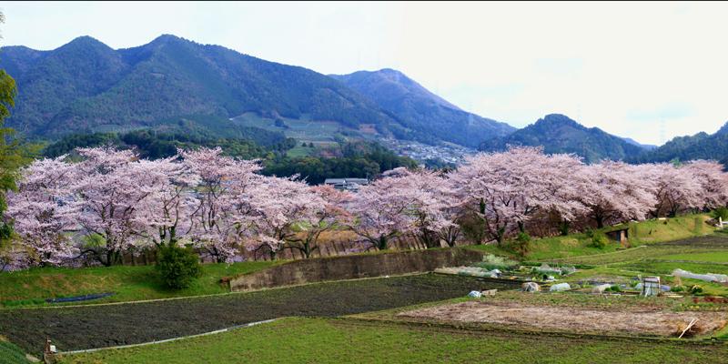 祝橋の桜並木