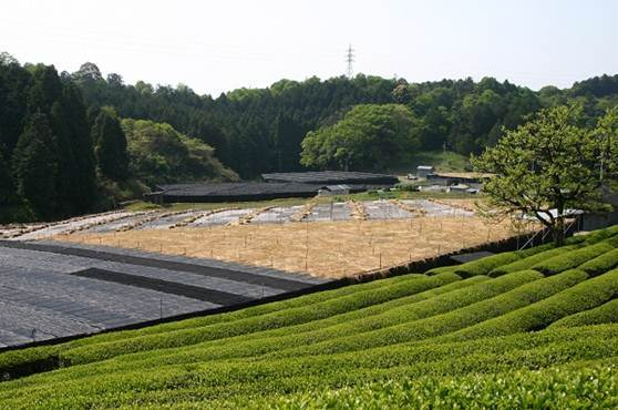 白川地区の茶畑