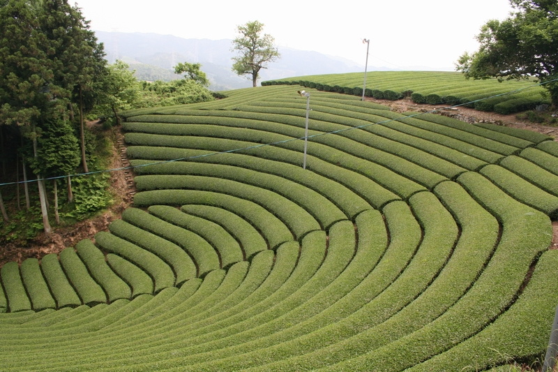 原山の茶畑