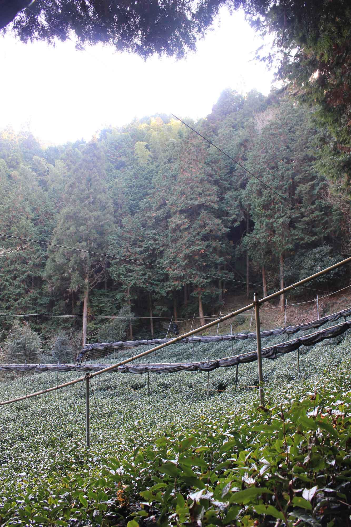 多賀の「森の茶園」