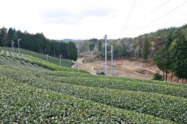 童仙房の茶畑