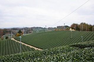 高尾の茶畑