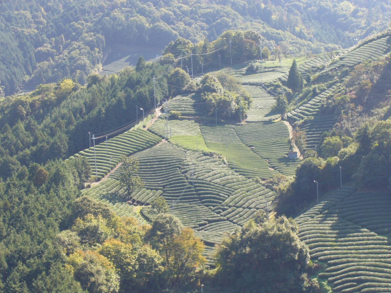 撰原の茶畑