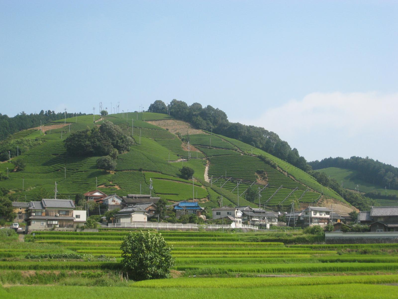 釜塚の茶畑