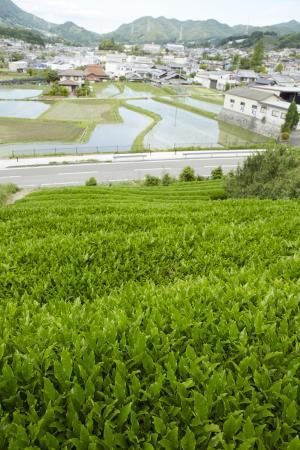 和束茶畑2