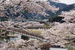 木津川河川敷の桜1