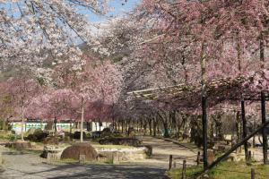 木津川河川敷の桜2