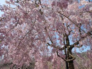 木津川河川敷の桜3