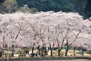 木津川河川敷の桜4