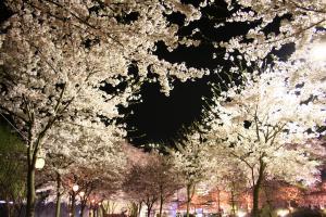 木津川河川敷の桜5
