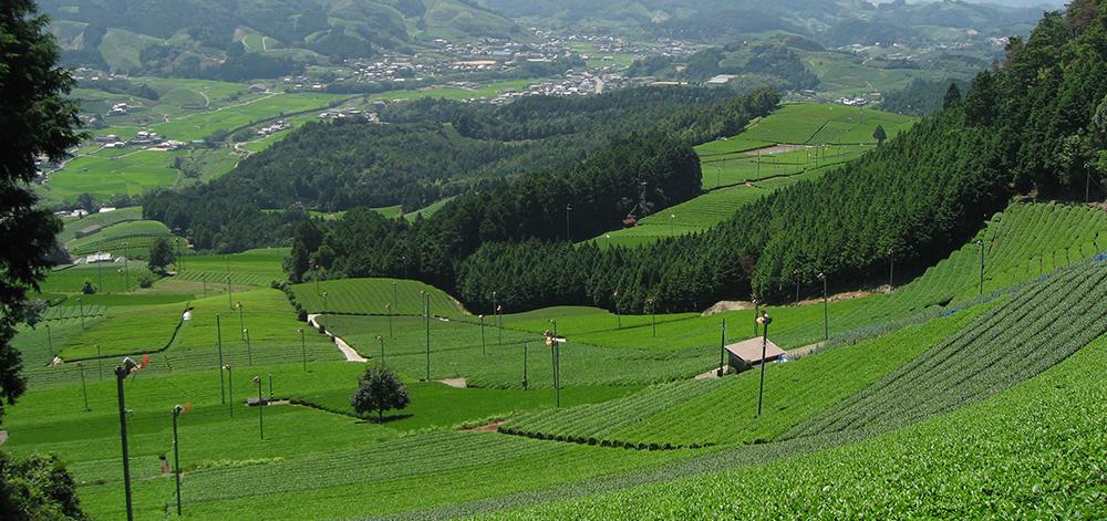 Tea plantation of Harayama
